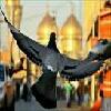 کبوترحرم